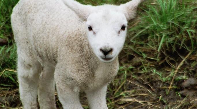 Lamm auf Föhr