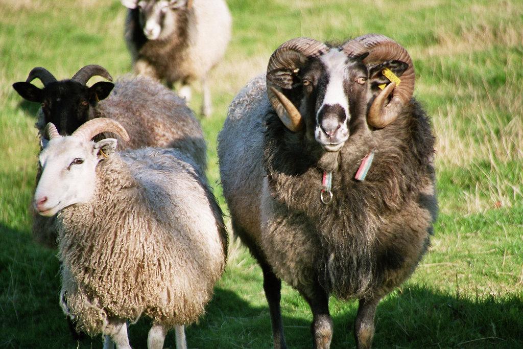 Schafe in Nordfriesland