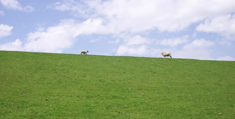 Schafe am Westerheverd Leuchtturm