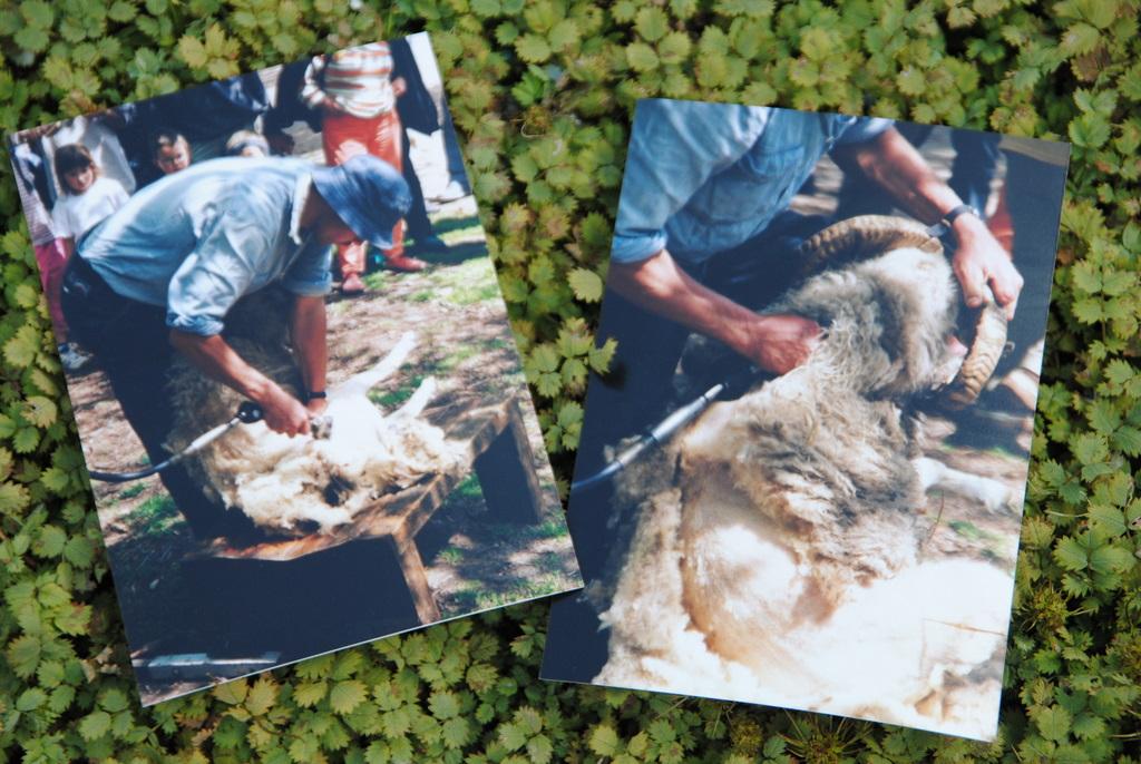 Fotos von einer Schafsschur