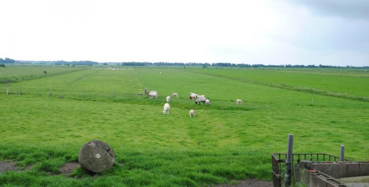 Schafe in Löwenstedt