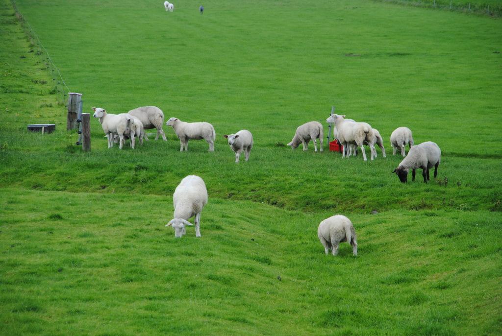 Schafe im Kreis Nordfriesland