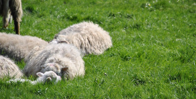 Schafe in Haithabu