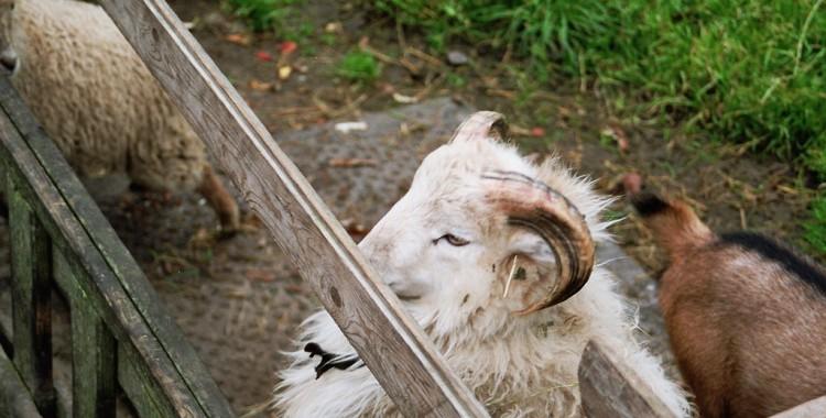 Schaf auf Föhr