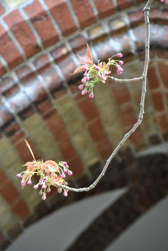 Kirschblüte vor dem Kircheneingang