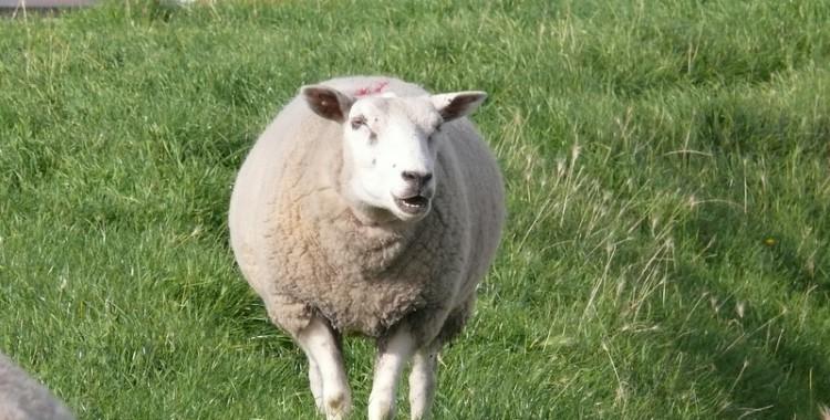 Schaf auf Texel