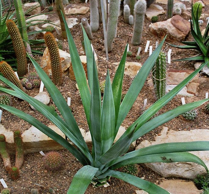 Agavenpflanze, Botanischer Garten Kiel