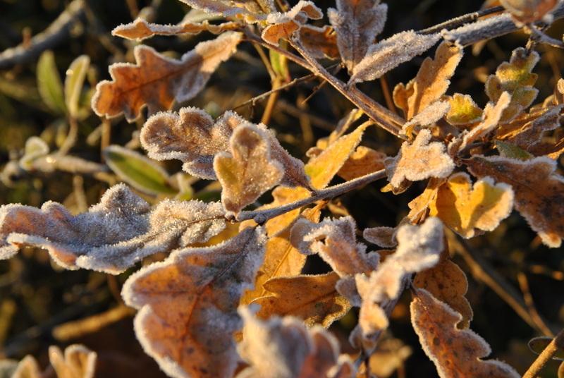 überfrorenes Laub