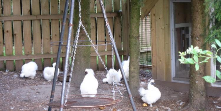 Seidenhühner mit eigenem Grillplatz hinter der Übernachtshütte