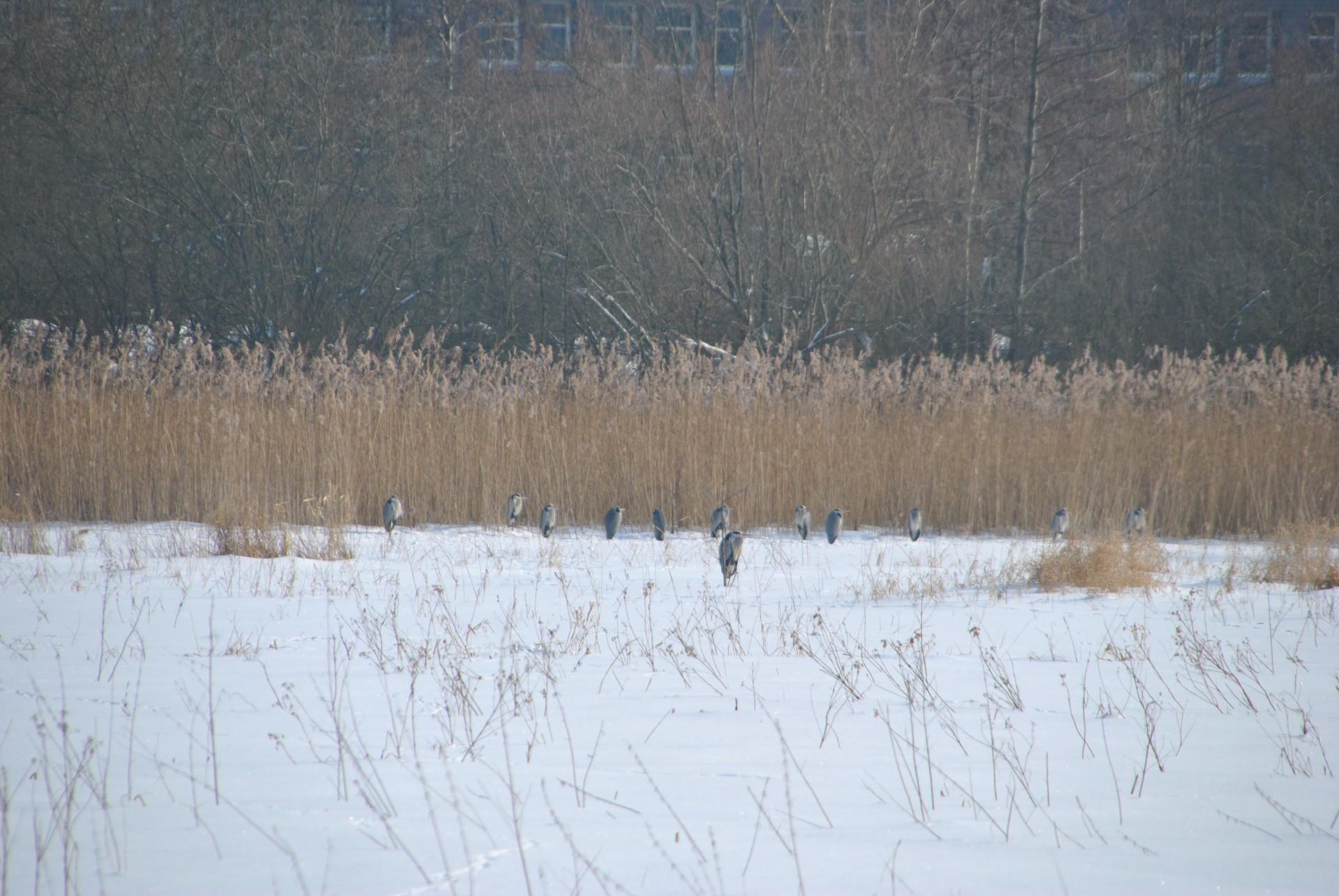 Reiher hinter der Kreisverwaltung, 2010