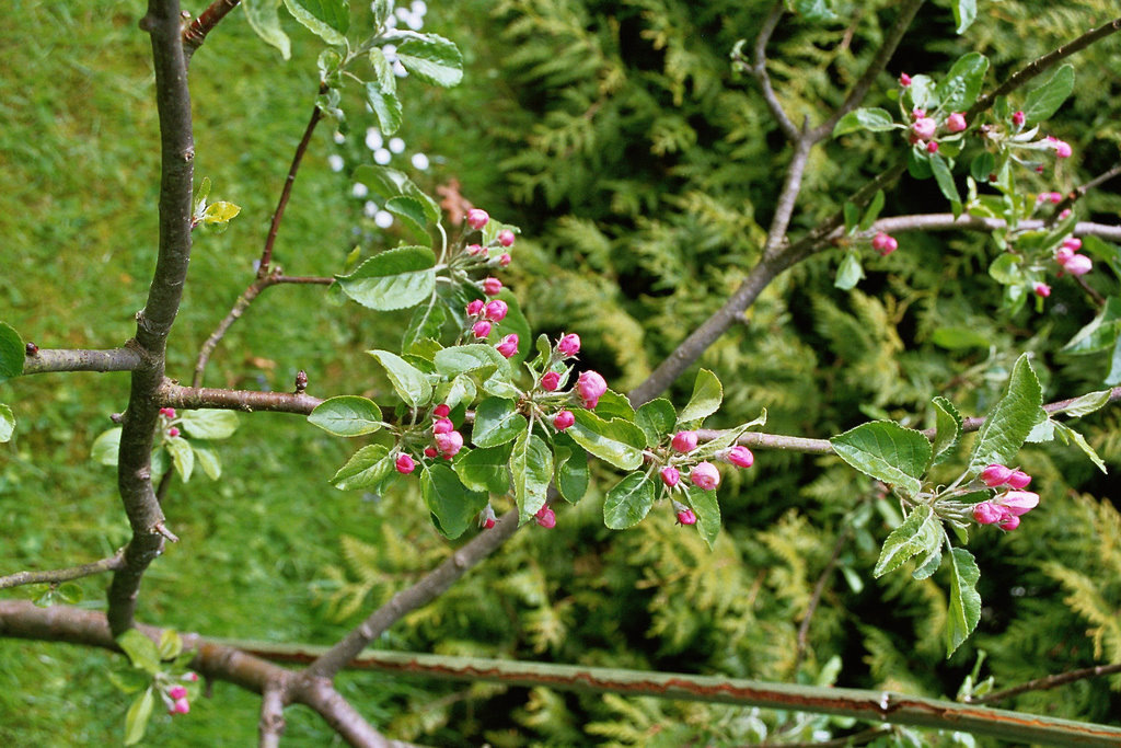 Apfelbaum vor der Blüte