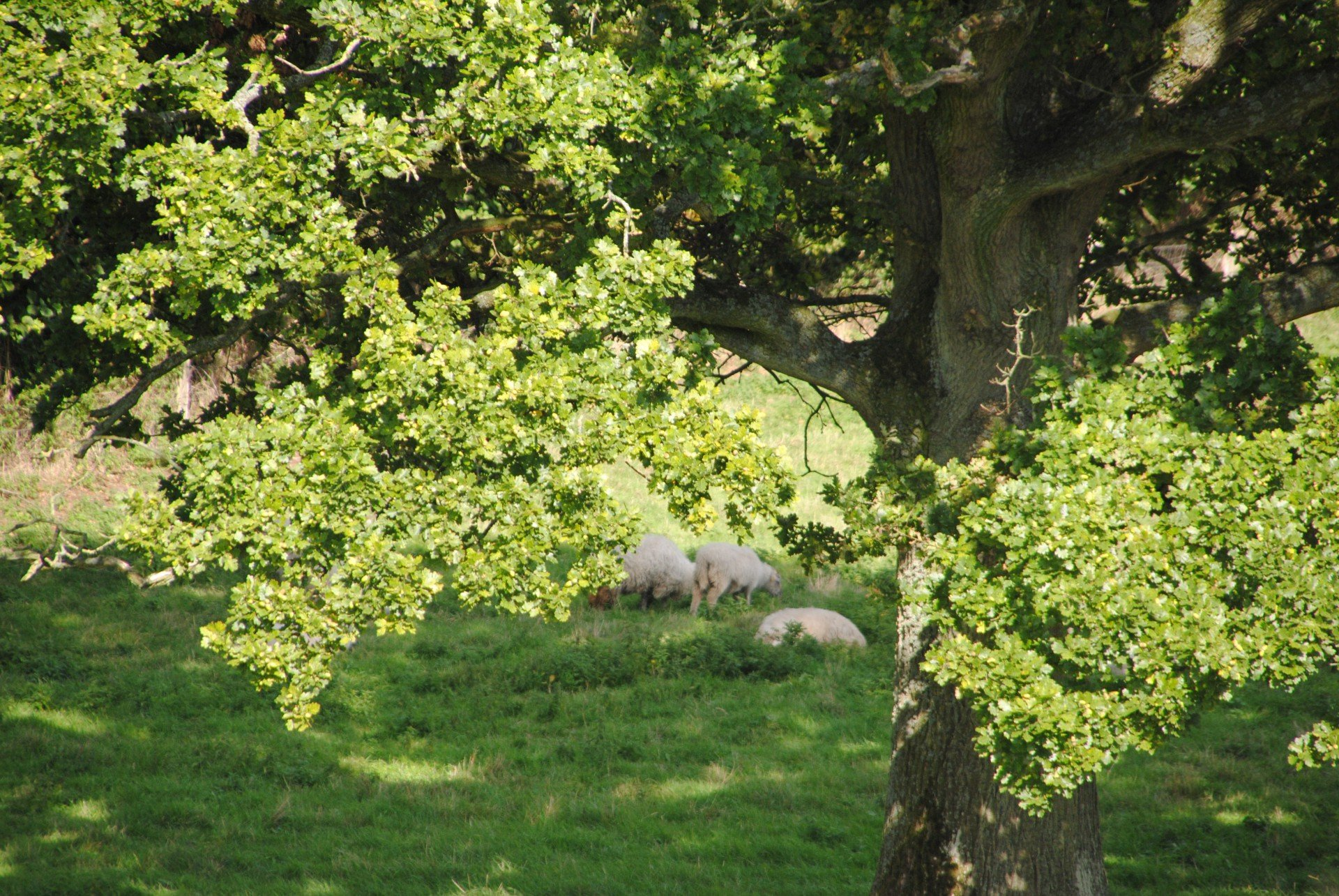 Schafe unter einer Eiche