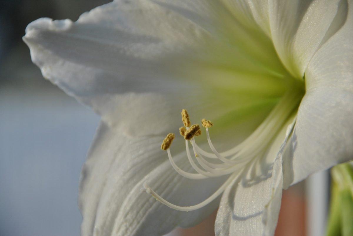 Lilie auf unserem Esstisch