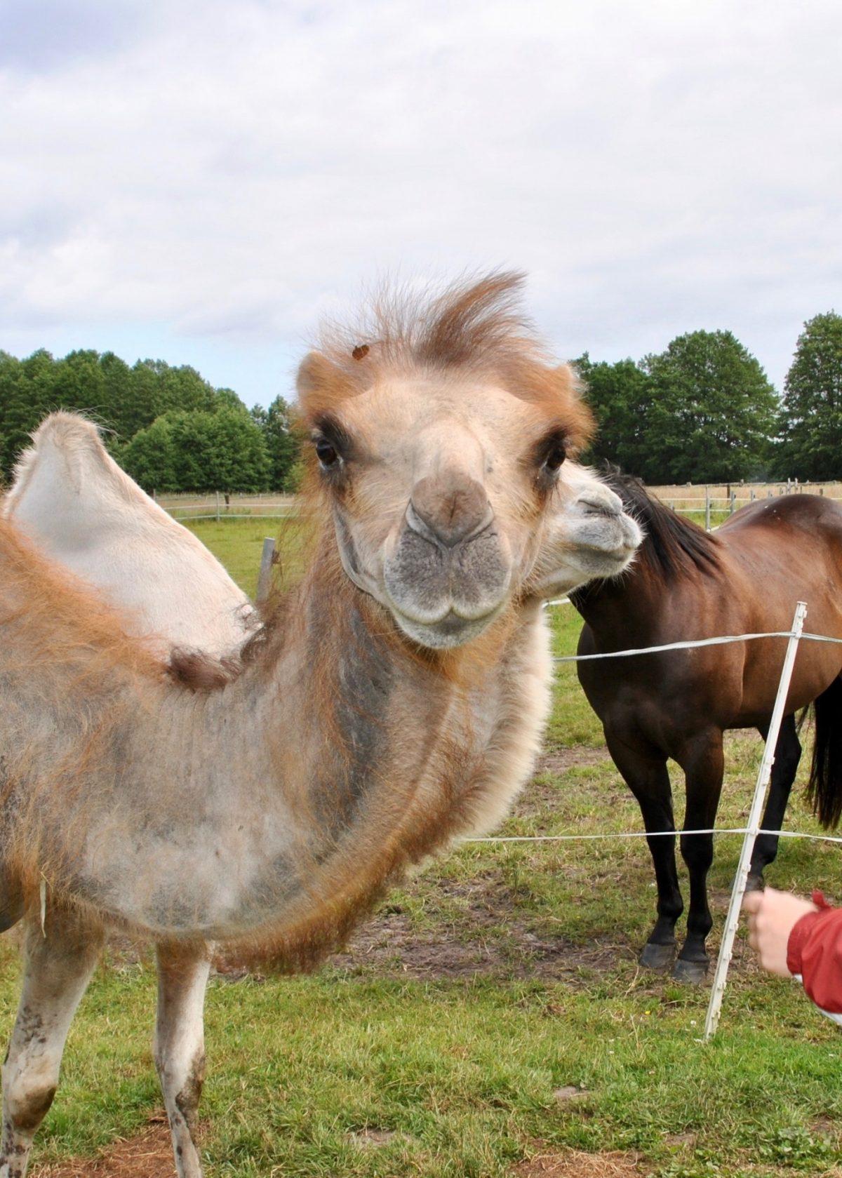 Sommer 2010, Kamel fast ohne Haare