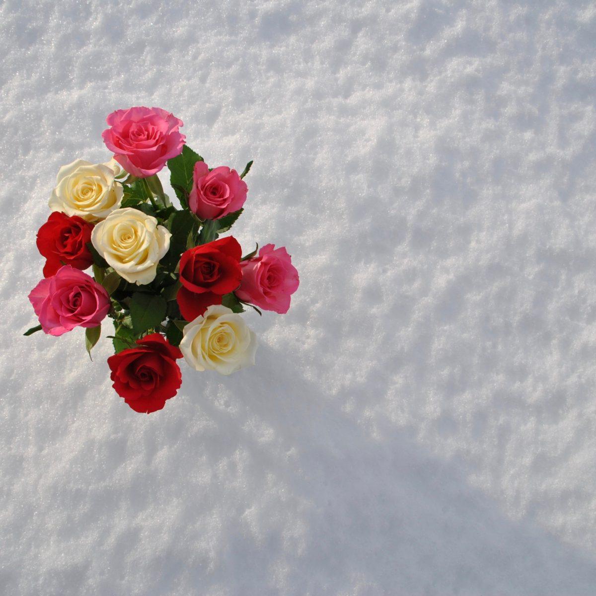 Winter 2010, Rosen im Schnee