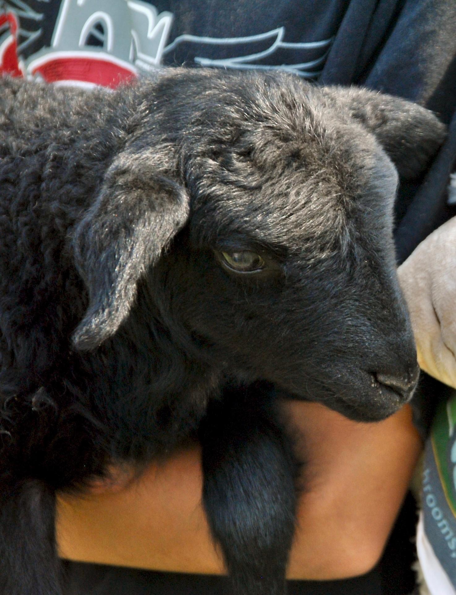 ein schwarzes Lamm wie Fritz