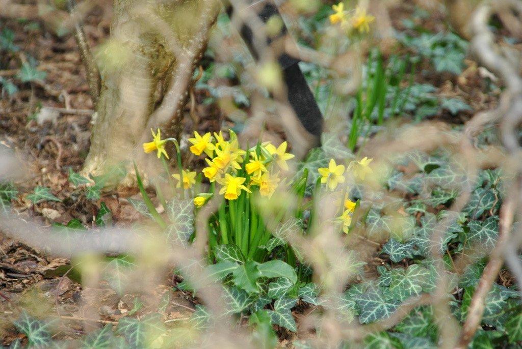 Frühling 2010 versteckte Osterglocken