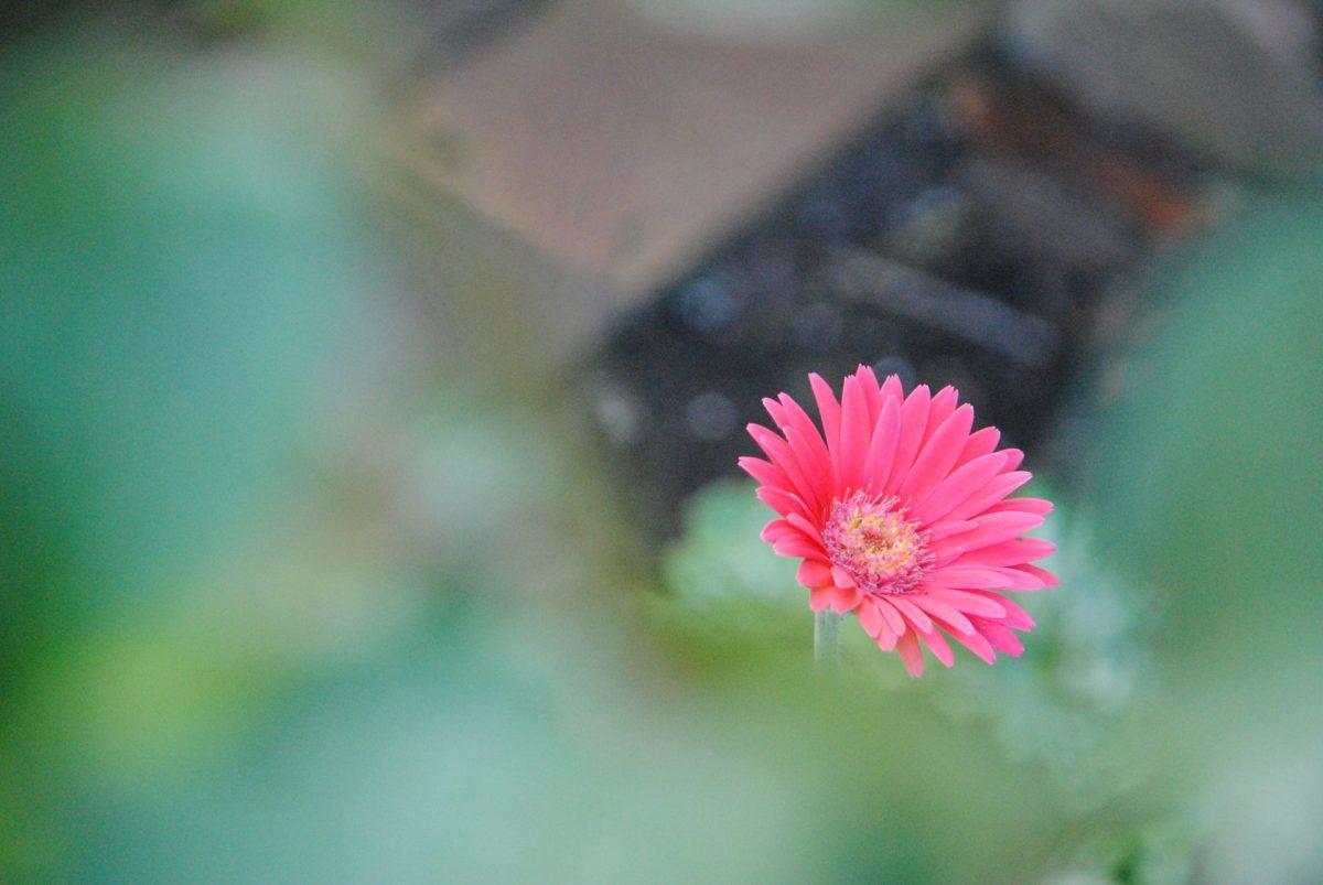 pink-farbige Blüte im Garten bei schafsnase