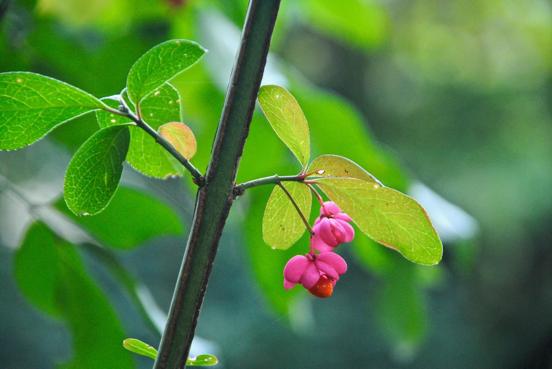 Pfaffenhütchen mit sichtbarer Frucht
