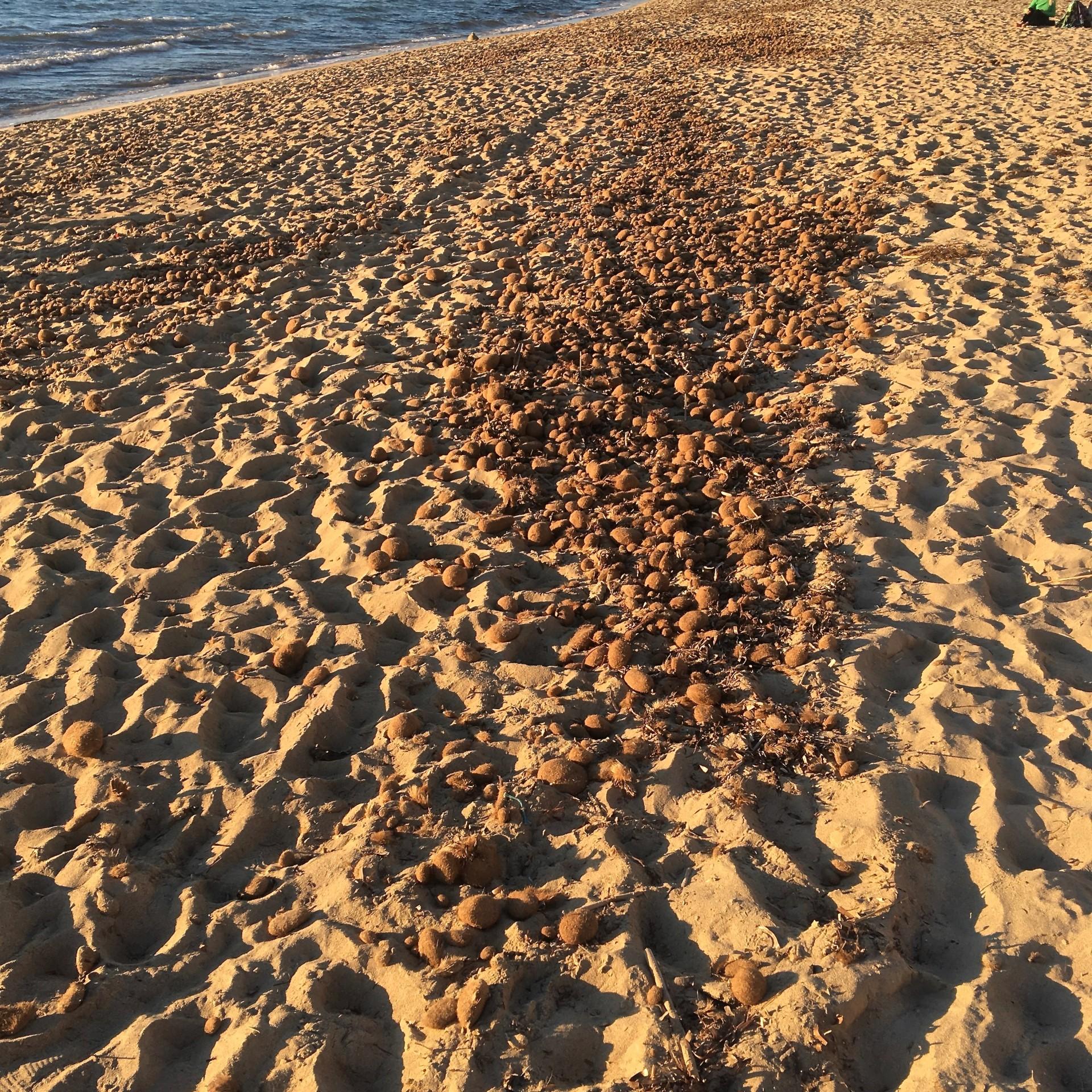 Viele Seekugeln lagen am Strand in Palma