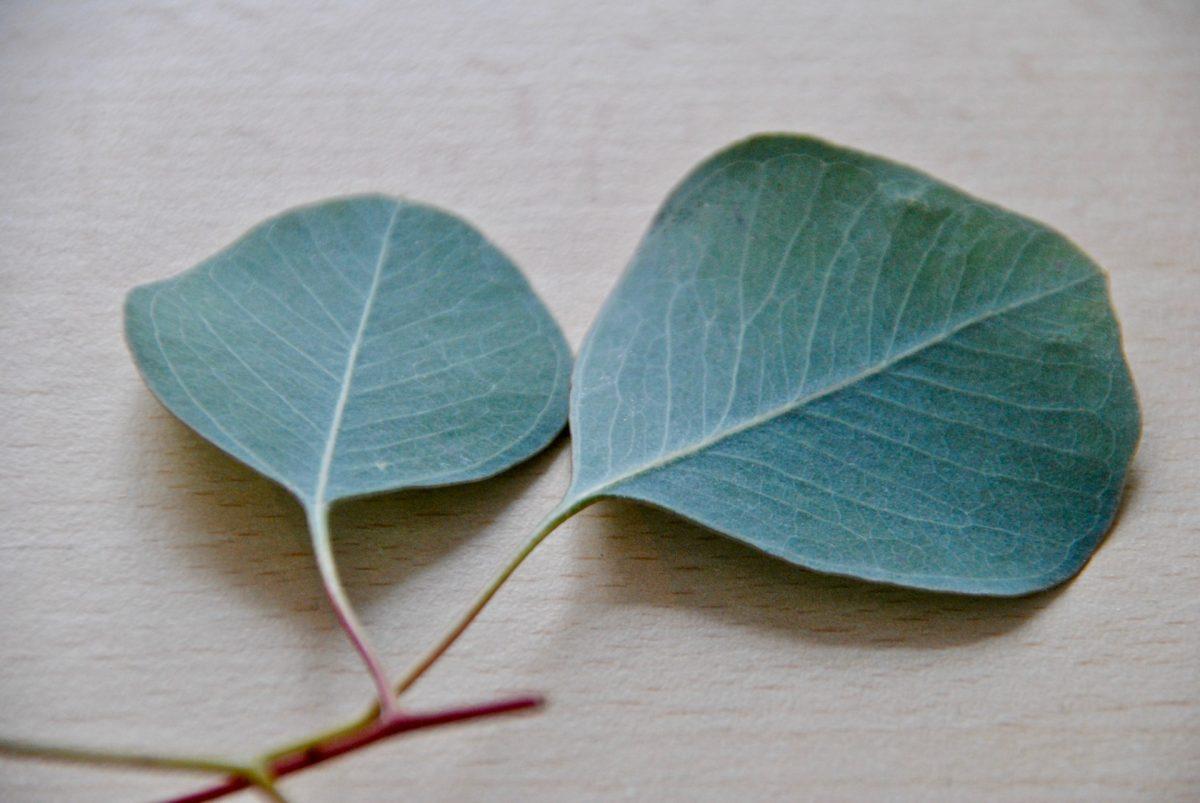 Eukalyptus-Blätter