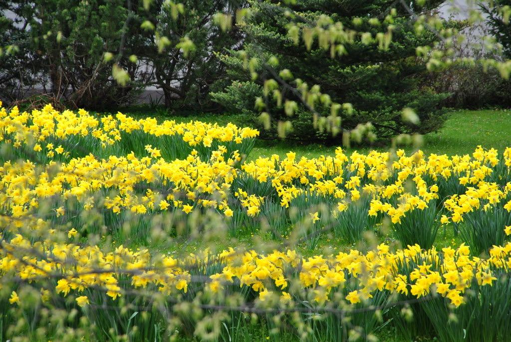 Osterglocken im Garten des Prinzenpalais in Schleswig
