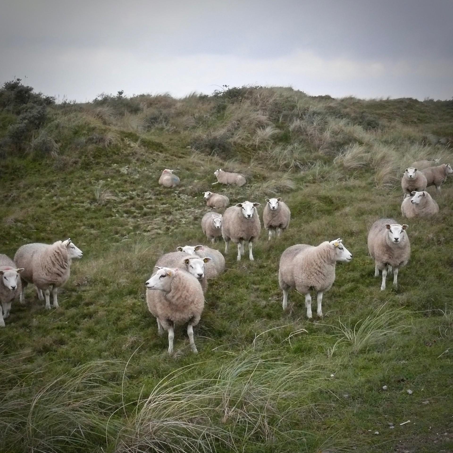 Teil einer Schafherde auf Texel
